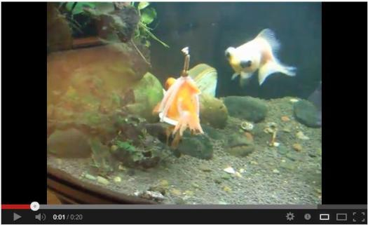 Who knew that disabled goldfish had options?  Not me.  Click and see.